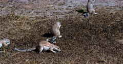 A Wide Tilt shot of a group Cape ground squirrels, Xerus inauris searching through a pile of buck dropping, picking one up at a time and eating them.