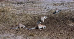 A Wide Tilt shot of a group Cape ground squirrels, Xerus inauris searching through a pile of buck dropping, picking one up at a time and eating them. They suddenly get a fright and run away.