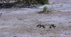 Two Cape ground squirrels, Xerus inauris Fight with one another. Tumbling and biting each other till one runs away.