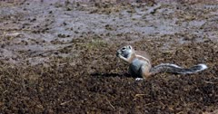 A wide shot of a Ground squirrel, Xerus inauris eating buck dropping.