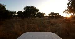Bundu bashing, 4X4 Off road driving through the bush and bumpy tracks, following a safari vehicle searching for game at sunset.