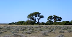 A wide shot of the huge communal nests of the Common Social Weaver, Philetairus socius
