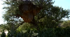 A medium shot of a busy huge communal nests of the Common Social Weaver, Philetairus socius with the birds flying in and out