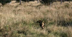 Wide shot of Two African wild dog, African hunting dog, or African painted dog, Lycaon pictus eating the remains of their kill