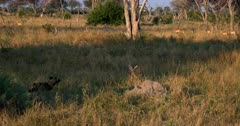 An African wild dog, African hunting dog, or African painted dog, Lycaon pictus approaches a heard of impala planning its kill.