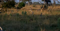 Three African wild dogs, African hunting dogs, or African painted dogs, Lycaon pictus on the hunt; Finding it difficult to hunt in the long grass that has grown after the good rain fall season.