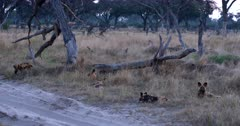 A pack of African wild dogs, African hunting dogs, or African painted dogs, Lycaon pictus resting on the long grass next to a sand road.