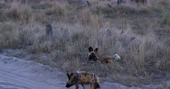 An African wild dog, African hunting dog, or African painted dog, Lycaon pictus walks on the sand road, past the pack that are resting on the long grass.