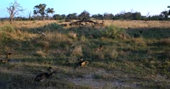 A pack of African wild dogs, African hunting dogs, or African painted dogs, Lycaon pictus resting on the grass.