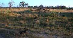A pack of African wild dogs, African hunting dogs, or African painted dogs, Lycaon pictus a few resting on the grass and some grooming one another.