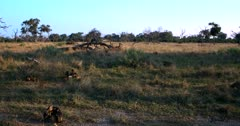 A pack of African wild dogs, African hunting dogs, or African painted dogs, Lycaon pictus a few resting on the grass and some walk away into the long grass