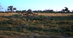 A pack of African wild dogs, African hunting dogs, or African painted dogs, Lycaon pictus trot away into the long grass away from the camera