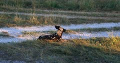 A close up of an African wild dogs, African hunting dogs, or African painted dogs, Lycaon pictus lying on the dirt road tracks
