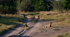 A large pack of TEN African wild dogs, African hunting dogs, or African painted dogs, Lycaon pictus lying on the dirt road tracks
