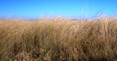 A Reveal,wide shot from behind savanna grass blowing in the wind to revealing the barren  Nxai pan,Botswana