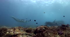 Slow motion tracking shot of two Reef Manta rays,Manta alfredi swimming past the camera, the one comes right up to the camera.
