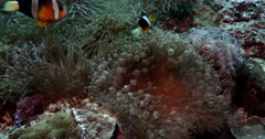 Slow Motion of Three Clark's Anemonefish, Amphiprion clarkii swimming on two different types of Anemone. Namely:Leather Anemone, Heteractis crispa and Bulb-tentacle Sea Anemone, Entacmaea quadricolor