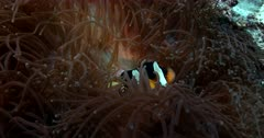 Slow Motion of a Clark's Anemonefish, Amphiprion clarkii  hiding in its Leather Anemone, Heteractis crispa while cleaner wrasse swim about.