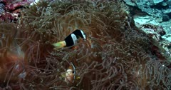 Slow Motion, close up shot, of two Clark's Anemonefish, Amphiprion clarkii  protecting their eggs and fanning them with its fin.