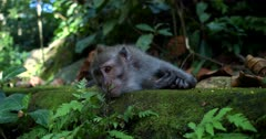 Close up shot of  a Balinese long-tailed monkey,  Macaca fascicularis resting on a green moss covered rock and curiously looking about.