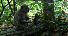 Close up shot through the dense green forest of a mom and tiny baby Balinese long-tailed monkey, Macaca fascicularis eating sweet potato, as the baby mischievously tugs at a branch of a tree and picks at a tree trunk
