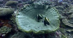 Two Phantom Bannerfish,  Heniochus pleurotaenia hover over a huge marine sponge.