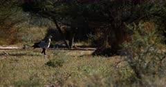 A Secretary bird,Sagittarius serpentarius walking