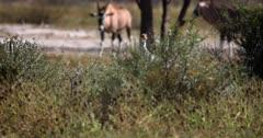 A Secretary bird,Sagittarius serpentarius walking through the bush.