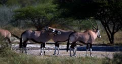 A close up shot of a Gemsbok,Oryx gazella antelope uses it long straight horn to scratch an itch on its back.