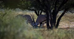 A Medium Wide shot of two male Gemsbok,Oryx gazella antelope aggressively shoving one another while locking horns to prove their dominance.