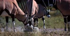 Close up shot of Gemsbok,Oryx gazella antelope licking a salt lick block.