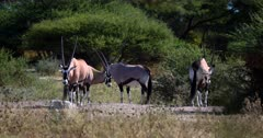 A male Gemsbok,Oryx gazella antelope chases an intruder away by using its horns.