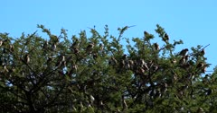 A Medium wide shot of a large flock of Red Billed Quelea,Quelea swarming on a Thorn tree grooming themselves.