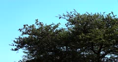 A wide shot of Red Billed Quelea,Quelea flying to a thorn tree that is heavily laden with a huge flock of Quelea.