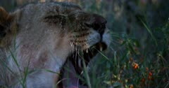 An Extreme close up shot of the face of a female Lioness,Panthera yawning and baring its sharp teeth.