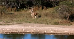 A female Greater Kudu,Tragelaphus strepsiceros and her Juvenile nervously approach the water to drink.