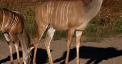 A female Greater Kudu,Tragelaphus strepsiceros body showing its teats and a close up of her Juvenile staying close to mom.