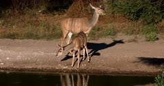 A female Greater Kudu,Tragelaphus strepsiceros stands guard, while her Juvenile nervously drinks water at the waters edge.