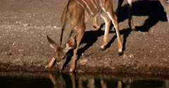 A Juvenile Greater Kudu,Tragelaphus strepsiceros nervously drinks water at the waters edge.