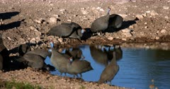 Close up of a flock Helmeted guinea fowl, Numida meleagris birds drinking water.