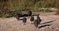 Close up of a flock Helmeted guinea fowl, Numida meleagris birds scratching in the sand for food.