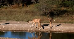 Two female Greater Kudu,Tragelaphus strepsiceros and their three Juveniles drink water at the waters edge.