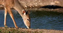 A female Greater Kudu,Tragelaphus strepsiceros eats the sweet grass at the waters edge while its Juveniles stays close to it.
