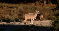 A frisky Male Greater Kudu,Tragelaphus strepsiceros with its gorgeous horns, patiently waits to mate with a female who is more interested in the salt lick.