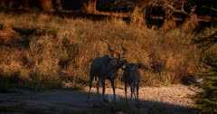 A frisky Male Greater Kudu,Tragelaphus strepsiceros with its gorgeous horns, follows a female around, waiting for the opportunity to mate with it.