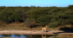 A skittish juvenile Greater Kudu, Tragelaphus strepsiceros tries to drink water and stays close to it mom, while a flock of Quelea fly past