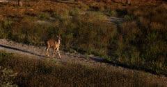 A Close up shot of a skittish juvenile Greater Kudu, Tragelaphus strepsiceros walks past the camera