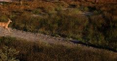A Close up shot of a juvenile Greater Kudu, Tragelaphus strepsiceros walks past the camera