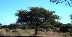 Five Gemsbok,Oryx gazella looking so smart in the bush