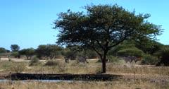 Gemsbok,Oryx gazella get disturbed and trot away, as a flock of Quelea Birds land on the Thorn tree.